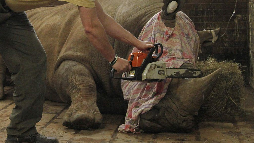 95260121 p04xlmss - Why a Czech zoo is dehorning its white rhinos