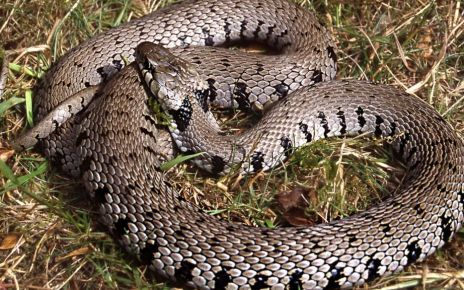 97239500 hi040974202 - New grass snake identified in the UK