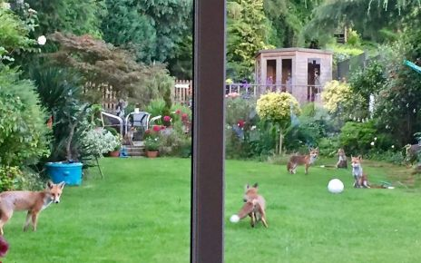 97252001 p05bwf22 - Foxes spotted in a Foxes fan's garden