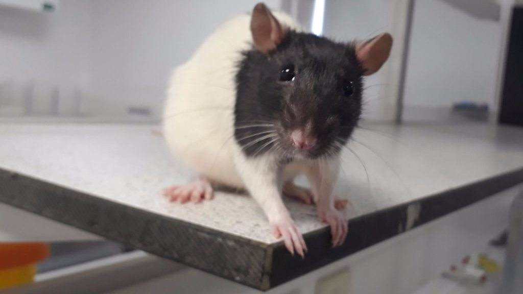 p06b33t3 - Gene therapy reverses rat's paralysis