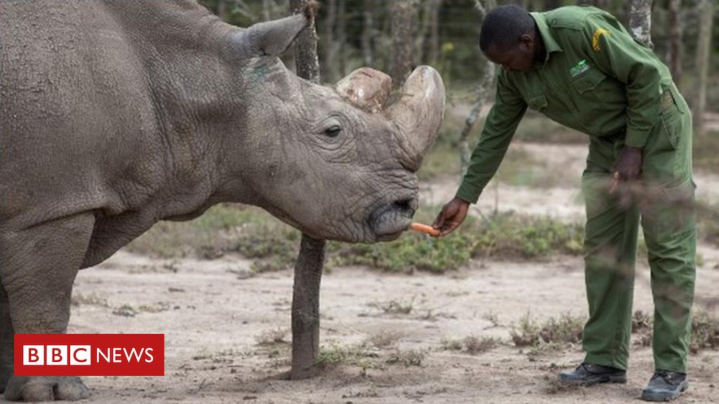 100491015 mediaitem100491014 - Embryo breakthrough 'can save northern white rhino'