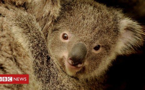 102263837 gettyimages 117569428 - Saving koalas: Gene study promises solution to deadly sex disease