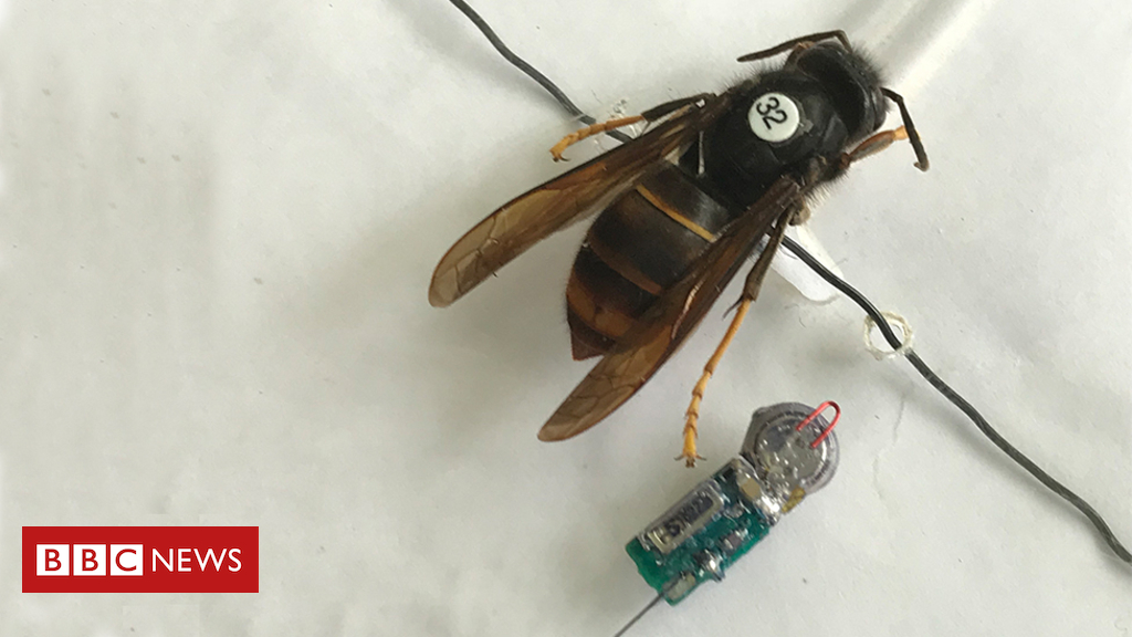 102372401 beepictracker - Asian hornet scientists in 'breakthrough' to stop spread