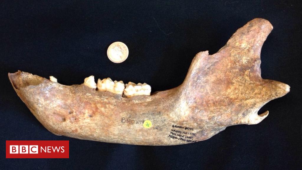 102373001 foxholebearmandible - Lost history of brown bears in Britain revealed