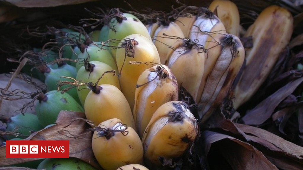 102373343 enseteperrieri themadagascanbanana photocredit heleneralimanana - Yes! We have no bananas: Why the song may come true again