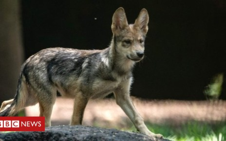102483080 mediaitem102480250 - Mexican wolves: Eight-cub litter delights Mexico City zoo