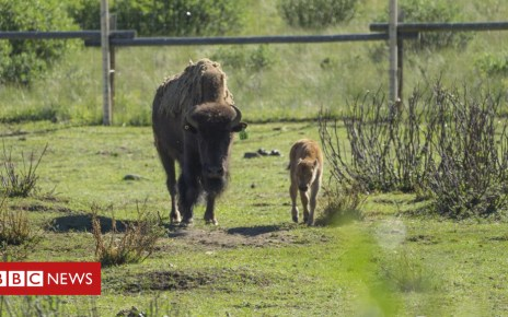 102677760 dsc02756 c - Banff National Park welcomes first bison calves in 140 years