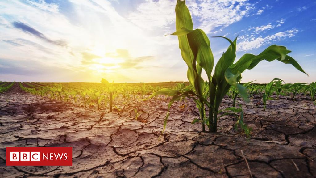 102688430 young corn plants in field spl - Regular heatwaves 'will kill thousands'