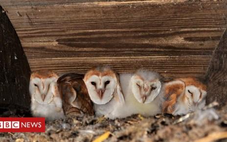 102704124 babybarnowlsatcrumlin - Biggest brood of barn owls recorded near Lough Neagh