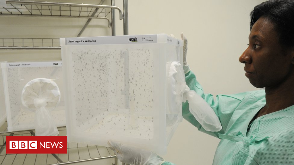 102780308 aedes aegypti mosquitoes carrying wolbachia are reared in the fiocruz laboratory in brazil   eliminate dengue fiocruz - Dengue fever outbreak stopped by special mosquitoes