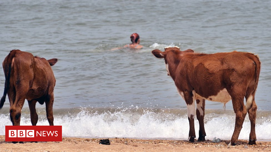 102920320 979986176 594x594 - Cows allowed to visit Swedish nudist beaches in heatwave