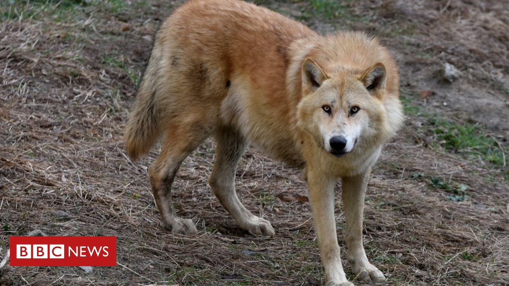 102922018 greywolf11dec17 - Rise in wolf attacks alarms Dutch sheep farmers