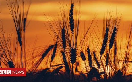 102969514 f0211555 silhouette of wheat field at sunset spl - Wheat gene map to help 'feed the world'