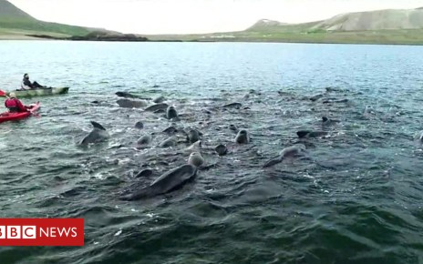 103031481 p06hkw24 - Whales get stuck in Icelandic fjord, twice