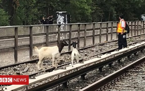 103107230 mediaitem103105510 - Comedian Jon Stewart rescues goats from New York subway tracks