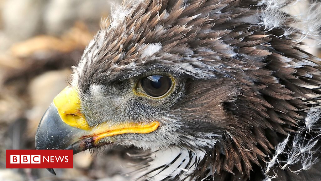 103252219 p06jzzh1 - Saving the 'king of the birds' with DNA