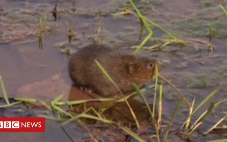 103373272 p06ktpbn - Endangered water voles return to Somerset river after 30 years