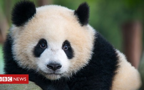 103498021 gettyimages 475636556 - Giant pandas can tell a mate from their calls