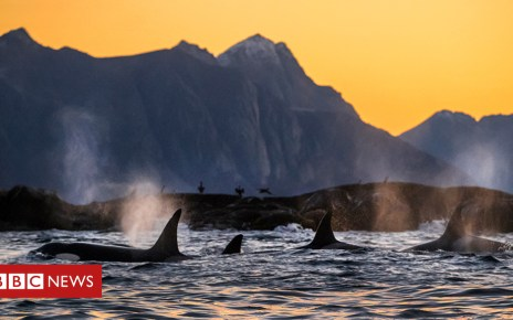 103603217 5 - Pollution threatens the future of killer whales