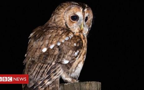 103609630 mediaitem103609434 - Tawny owl decline: Public urged to record 'twit-twoos'