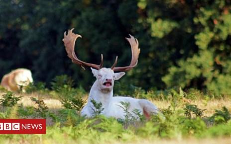 103613601 whitestagmid sneeze - Sneezing white stag photo 'one-in-a-million shot'