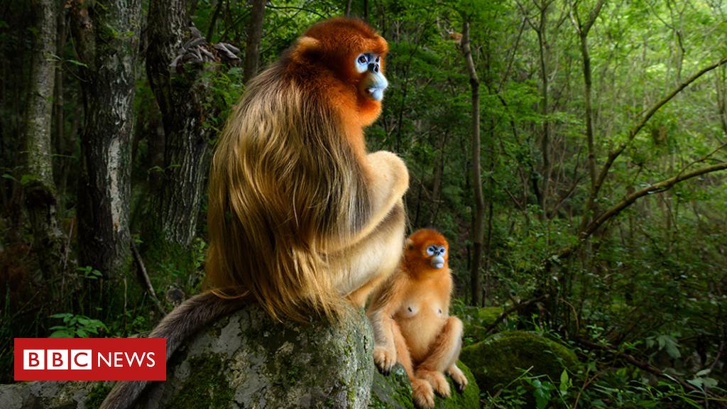 103876144 marsel van oosten wpy - Gazing monkeys image wins top wildlife photo award