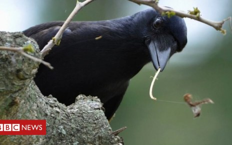 99701258 caledoniancrow - Clever crows reveal 'window into the mind'
