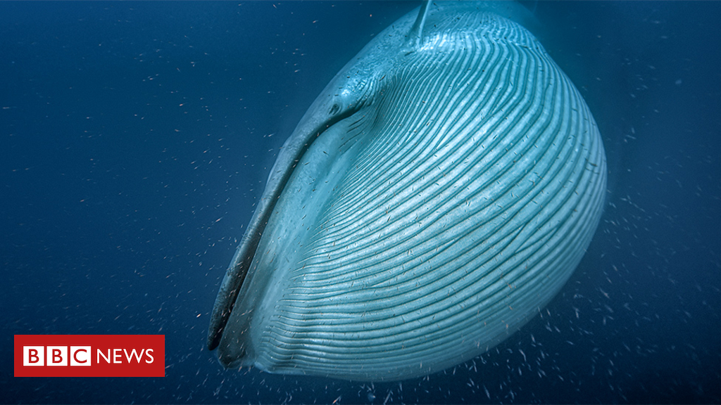 104115952 bluewhale - Scientists count whales from space