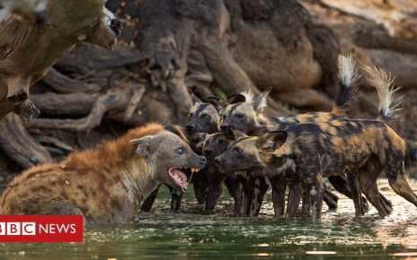104231330 staringcompetition - The 'painted wolves' of Zimbabwe