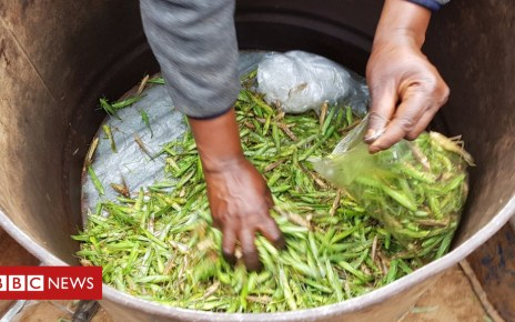 104523729 20181116 101358 - The Ugandan love of grasshoppers - and how to harvest them