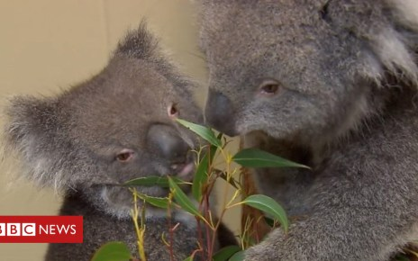 105112337 p06dtt0r - Longleat koala Wilpena put down after kidney disease