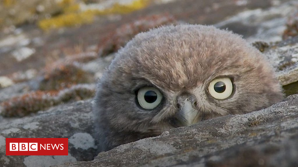 105135167 p06xqxk9 - Essex little owls win wildlife photographer's affection