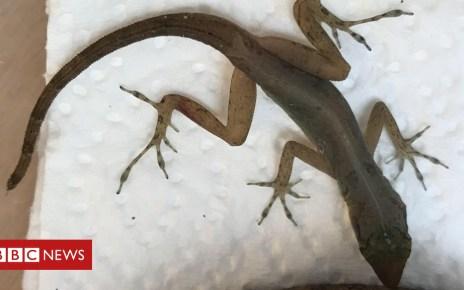 105416760 lizard1 - Caribbean lizard found in Essex family's suitcase