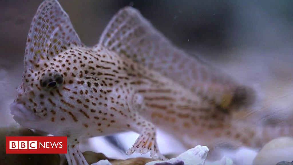 105428018 p06zq2mw - Spotted handfish: Saving Tasmania's unusual 'walking' species