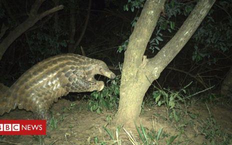 105616482 pangolin chesterzoo - Pangolins: Rare insight into world's most trafficked mammal