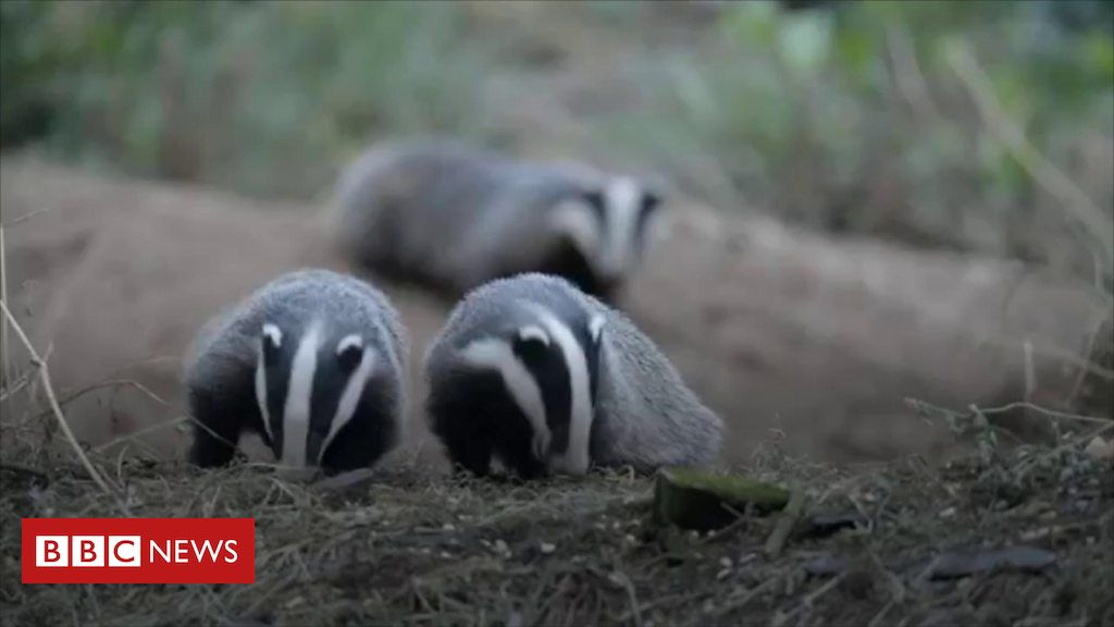 105696092 p07182cz - 'Hundreds' of badgers illegally killed each year in NI