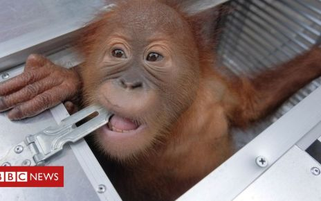 106148577 mediaitem106148576 - Smuggled orangutan seized at Bali airport