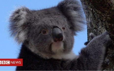 106191252 p074njy0 - Longleat: Koala conservation scheme 'working despite death'