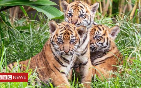 106227874 p074ydr7 - Meet the rare tiger cubs making their debut at Sydney Zoo