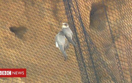 106351229 mediaitem106351228 - Bacton cliffs: RSPB warns birds 'could be killed' by netting