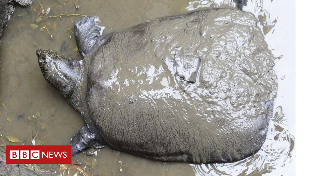 106453031 turtle3 - One of four remaining Yangtze turtles dies in China