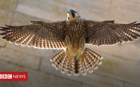 106499925 p076vrcf - Norwich Cathedral peregrine falcons: A photographer's passion