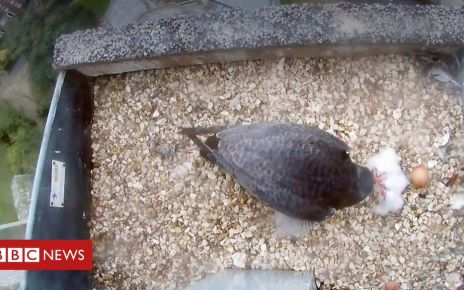 106592490 p077g1rl - Norwich Cathedral peregrine falcons' chicks hatch