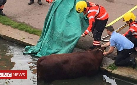 106642139 d5vd58xxoaipia8 - Cambridge cow rescued from River Cam at common