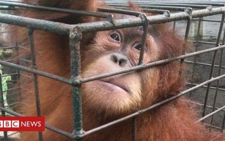 106742196 photo 2019 02 21 09 27 27 - Leuser rainforest: Baby orangutans rescued from Indonesia's pet trade
