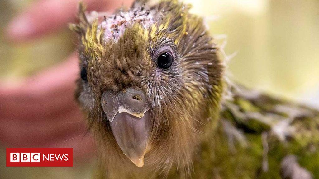 106905210 a04dd78a 3cd0 4ec1 a6e8 5075f237ef35 - Endangered kakapo parrot gets pioneering brain surgery