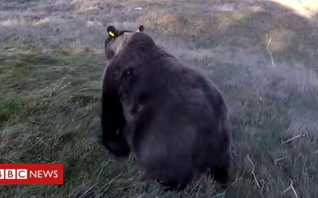 106997286 bearsoritaoncfs - Spain alarmed by French bear's attacks on sheep
