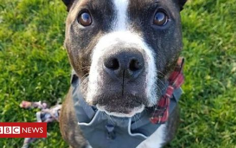 107044517 619657 staffie star finds new home after five years at edinburgh cat and dog home - 'Unluckiest dog in Scotland' finds new home