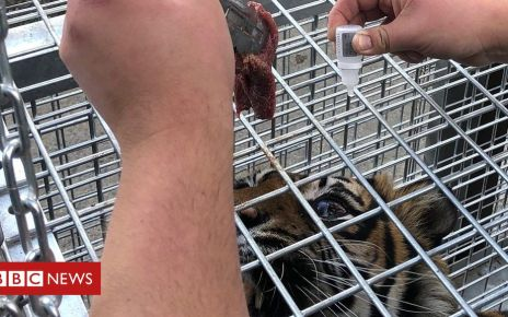 107082614 p07b3zmk - Shepreth Wildlife Park gives eye drops to tiger by creating tunnel