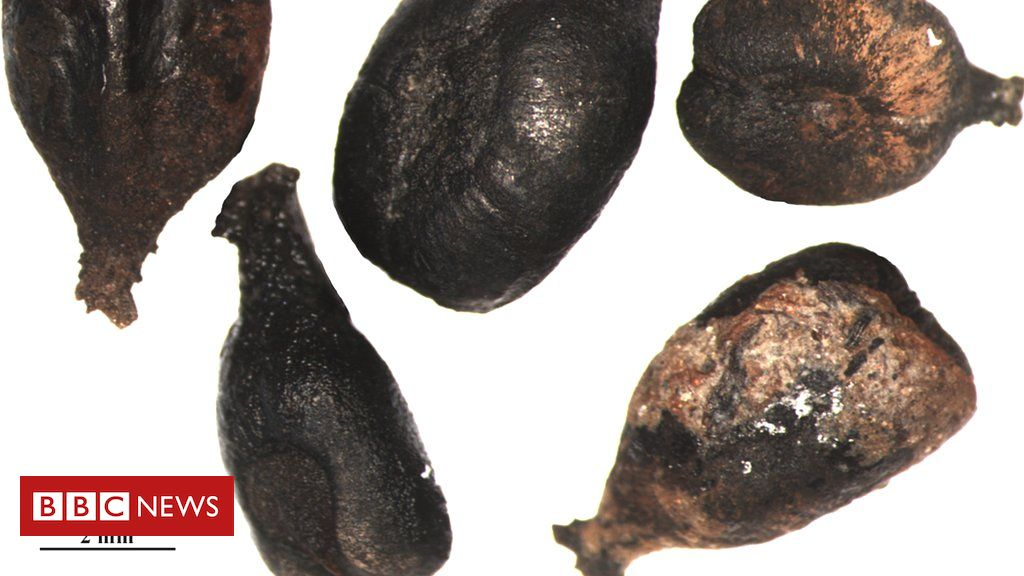 107290626 ancientgrapeseeds - Grape expectations: DNA reveals history of vintage wine